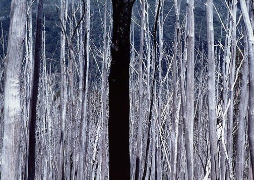 An image of Dead forest, Cabramurra, NSW by David Moore