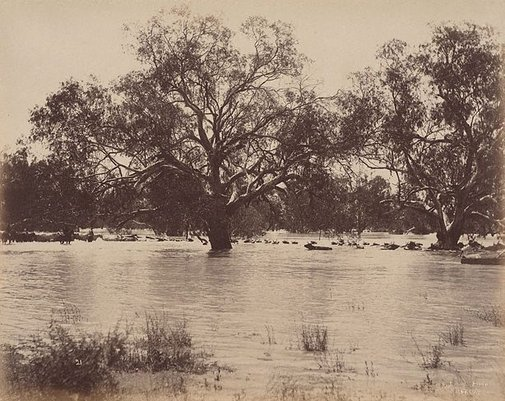 An image of Mob of 1000 bullocks crossing Darling River, near Wilcannia (second view) by Charles Bayliss
