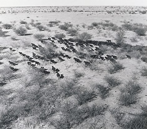 An image of Cattle from the air, 'Millungera', North Queensland by Max Dupain
