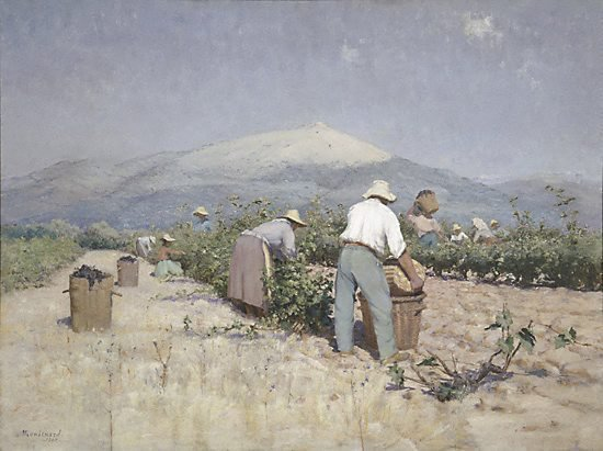 An image of Vintage harvest in Provence