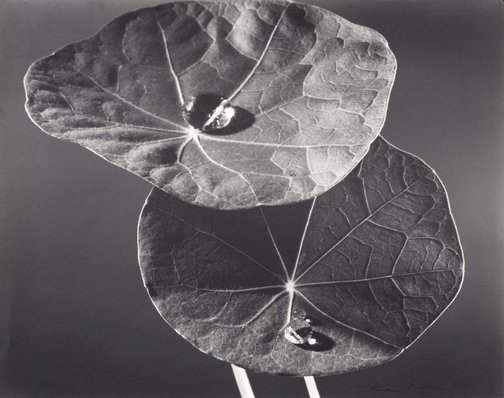An image of Nasturtium leaves by Max Dupain