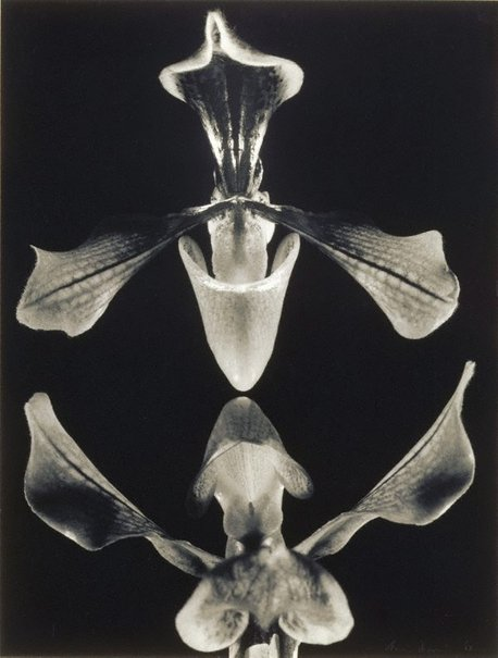 An image of Slipper orchids by Max Dupain