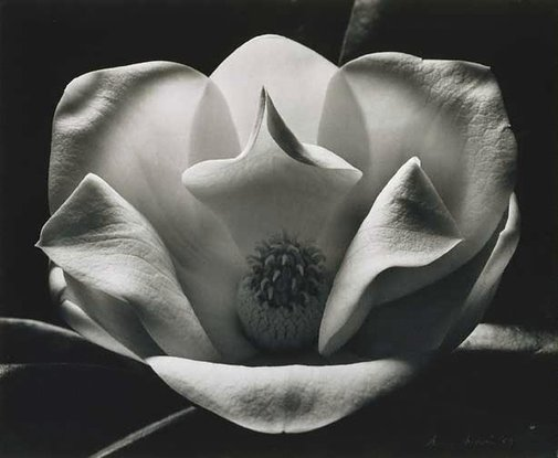 An image of Magnolia at night by Max Dupain