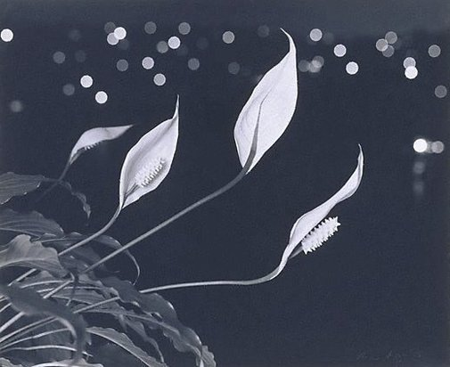 An image of Hawaiian Lilies at night by Max Dupain