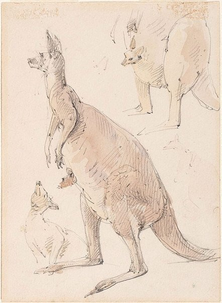 An image of Studies of kangaroos by William Strutt
