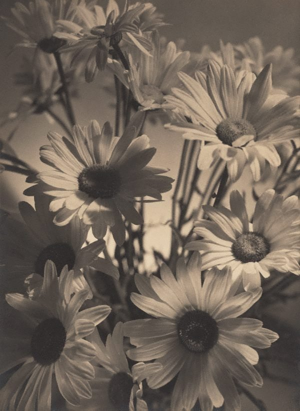 An image of Shasta daisies